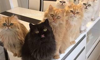 ¿Serías Capaz De Vivir Con 12 Gatos Persas?