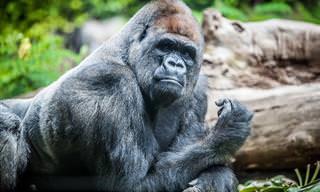 Divertido: Llega Un Nuevo Gorila Al Zoológico