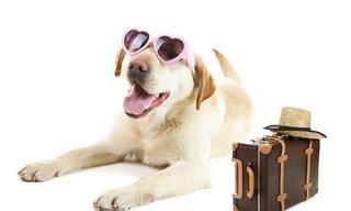 Un Labrador Se Pone a Trabajar En Pleno Vuelo