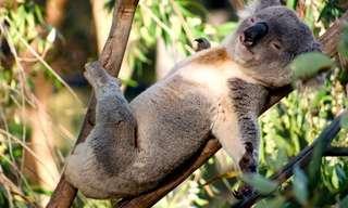 13 Adorables Koalas Posando Para Las Cámaras