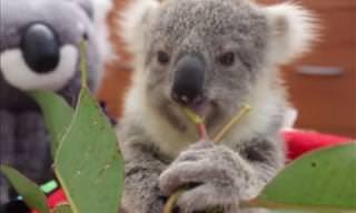 Eldúlzate La Vida Con Este Bebé Koala