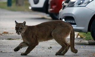 Animales Exploran Las Ciudades Desérticas De Todo El Mundo
