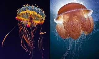 La Medusa: Una Extraordinaria Criatura