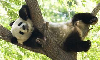 30 Interesantes Datos Sobre Los Pandas Que Te Asombrarán