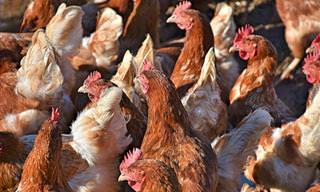Cuidado Con Las Líneas Blancas En Las Pechugas De Pollo