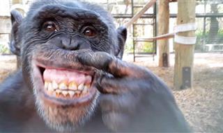 Divertido: Un Chimpancé Se Mira a Sí Mismo En Un Espejo