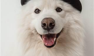 Conoce Al Samoyedo: El Amigo Canino Más Lindo De Siberia