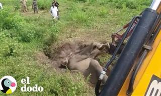 Bebe Elefante Queda Atascado En El Lodo
