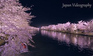 Observa Cómo Florecen Los Cerezos En Hirosaki Japón