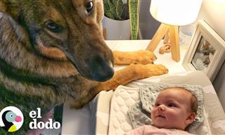 Emotivo: Perro Policía Conoce a Su Nueva Hermanita