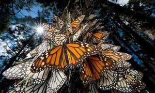 La Migración De La Mariposa Monarca…