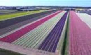 ¡Campos de Tulipanes Holandeses Te Quitará el Aliento!