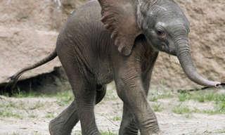 Elefantes Bebés Súper Tiernos…