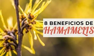 8 Formas De Usar Hamamelis Para El Cabello, Piel y Venas