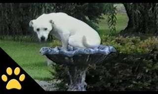 Los Labradores Lo Intentarán Todo...
