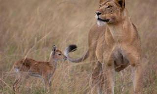 Animales Que Adoptaron a Otros Animales