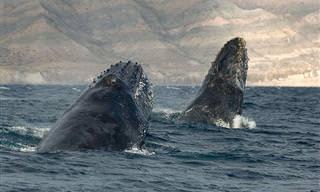 La Majestuosidad De Las Ballenas En Imágenes