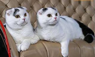 Un Excelente Compilado De Hermosas Razas De Gatos