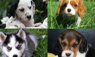 ¿Puedes Reconocer La Raza De Estos Cachorros?