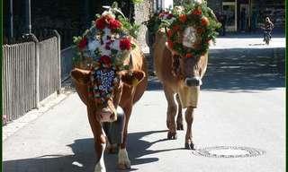 ¡El Festival De Las Vacas De Tirol!