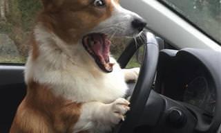 Cómicas y Lindas Mascotas: 15 Fotos Divertidas De Corgis