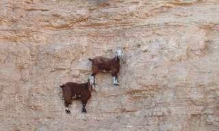 Las Más Increíbles Fotos De Cabras De Montañas