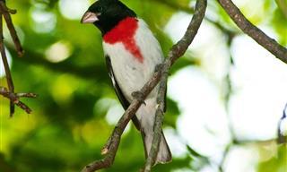 10 Pájaros Famosos Por Sus Dotes De Canto