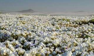 Las Bellas Flores Del Desierto De Atacama…