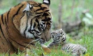 Los Datos Más Curiosos Sobre El Poderoso Tigre