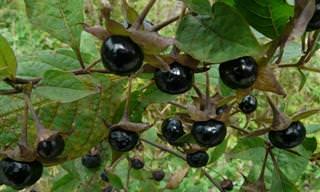 6 Plantas Venenosas Que Se Confunden Con Alimentos