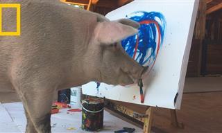Pigcasso: La Sorprendente Cerdita Que Crea Obras De Arte