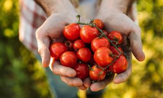 Los Tomates Tienen Propiedades Anticancerígenas, Pero Hay Una Trampa