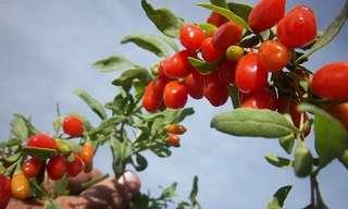 Los Beneficios De Las Cerezas Goji