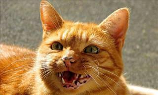 ¿Alguna Vez Viste Gatos Cantar Ópera Como Estos?