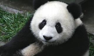 Conoce a Los Adorables Pandas De La Reserva Sichuan