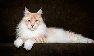 Espectaculares Fotografías De Gatos Maine Coon