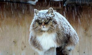 Gatos Siberianos Presumiendo De Majestuosidad Salvaje