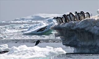 Una Enorme Colonia De Pingüinos Fue Descubierta Por Los Científicos