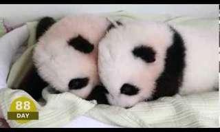 Los Primeros 100 Días En La Vida De Un Panda