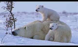 Una Familia De Osos Jugando En La Nieve