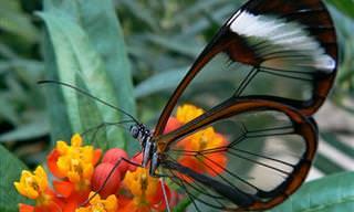 La Espectacular Belleza De La Mariposa De Cristal