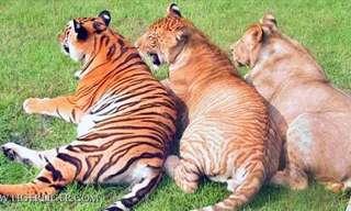 Los Híbridos De Los Felinos Más Grandes