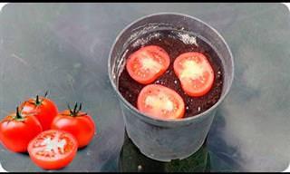 Video: Cómo Cultivar Un Tomate En Tan Solo 5 Días