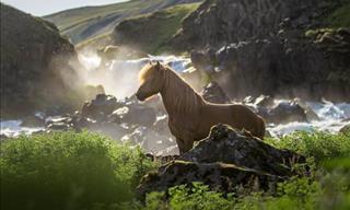 21 Fotografías Que Nos Muestran La Belleza De Los Caballos Islandeses
