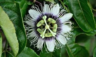 Las Propiedades De La Flor De La Pasión o Pasiflora