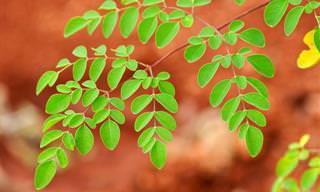 Salud: ¿Puede Esta Planta Ayudar a Prevenir El Cáncer?