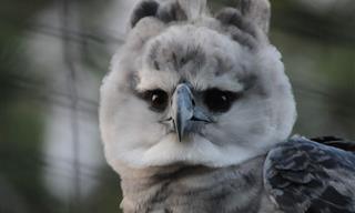 El Águila Arpía Tiene Las Garras Mas Fuertes Que Un Rottweiler