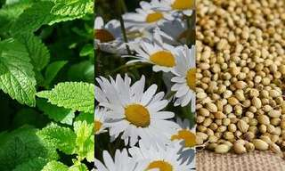 10 Plantas Para Aliviar El Dolor De Cabeza