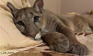 El Rescate De Un Puma Que Restaurará Tu Fe En La Humanidad