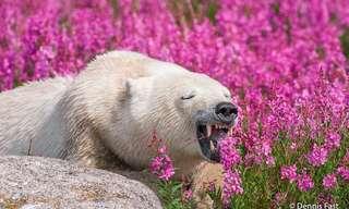 Bellos Osos Polares Disfrutando Del Verano...
